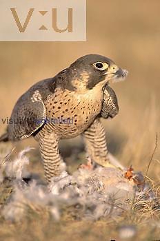 Peregrine Falcon (Falco peregrinus) eating a Rock Dove or Domestic Pigeon (Columba livia).