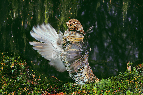 BG244  Male Ruffed Grouse drumming--mating-territorial display--beneath moss draped limbs.  Pacific Northwest.  April.