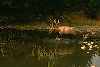 Jasper National Park, Canadian Rockies, AB, Alberta, Canada - Bull Elk, Wapiti (Cervus canadensis), drinking at Watering Hole, Sunset