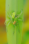 A mating pair of Green Huntsman Spiders (Micrommata virescens)
