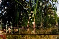 juvenile Morelet's crocodile, Central American crocodile, Mexican crocodile, or Belize, Caribbean, Atlantic crocodile, Crocodylus moreletii, in cenote, or freshwater spring, near Tulum, Yucatan Peninsula, Mexico, Caribbean, Atlantic