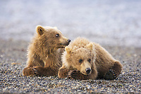 BooBoo and Corona, Lady Hook's spring cubs. Kodiak grizzly bear (Ursus arctos middendorffi), Hallo Bay