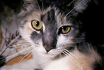 Calico cat portrait close up