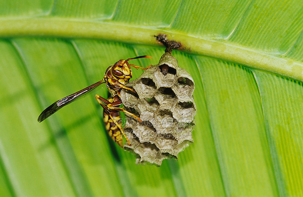 Paper Wasp, Polistes sp., adult on nest under Palm Frond, The Inn at Chachalaca Bend, Cameron County, Rio Grande Valley, Texas, USA, May 2004