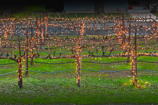Holiday lights on grapevines in Napa Valley