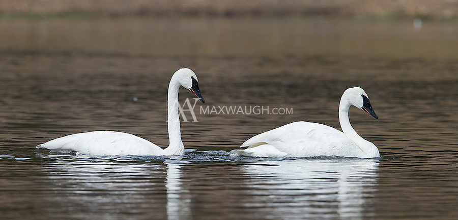 Trumpeter swans have been making a comeback on the Yellowstone River after some successful cygnet releases by park management.