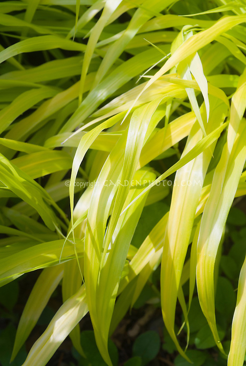 Hakonechloa macra Allgold, yellow foliage ornamental grass, Hakone grass perennial, shining leaves in sun