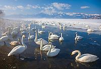 Hokkaido, Japan<br /> Herd of Whooper Swans (Cygnus cygnus) gathered in open water on frozen Lake Kussharo, Akan National Park