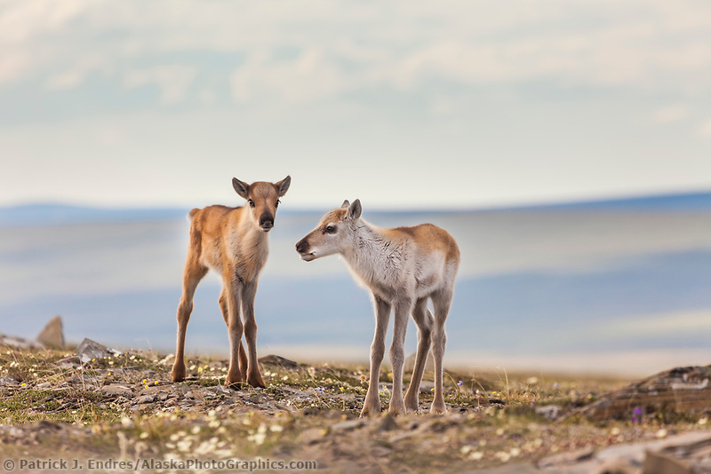 Two newly born caribou calves of the western arctic caribou herd on Archimedes Ridge in the Utukok Uplands, National Petroleum Reserve Alaska, Arctic, Alaska.