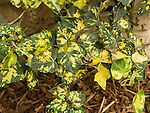 Midas Touch or 'Golden Kolibri' English Ivy, Hedera helix