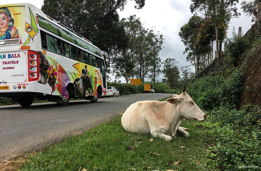 A free range cow lays on the side of the road chewing its cud after a morning of grazing in Peerumedu, Kerala, India,  June 09, 2017.  Roadside cattle grazing is a common sight.  (Cellphone Photo by Cheryl Senter)
