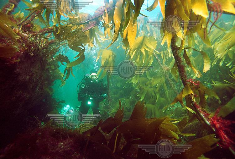 Diver in kelp forest off the Norwegian coast.  Strømsholmen Diving Center lies along Atlanterhavsveien, the Atlantic road, on the West coast of Norway.
