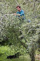 Europe/France/Provence-Alpes-Côtes d'Azur/06/Alpes-Maritimes/Alpes-Maritimes/Arrière Pays Niçois/ Sospel: Frédéric Soffiotti  oléiculteur taille ses oliviers