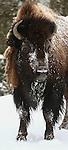 Yellowstone - Winter 2014