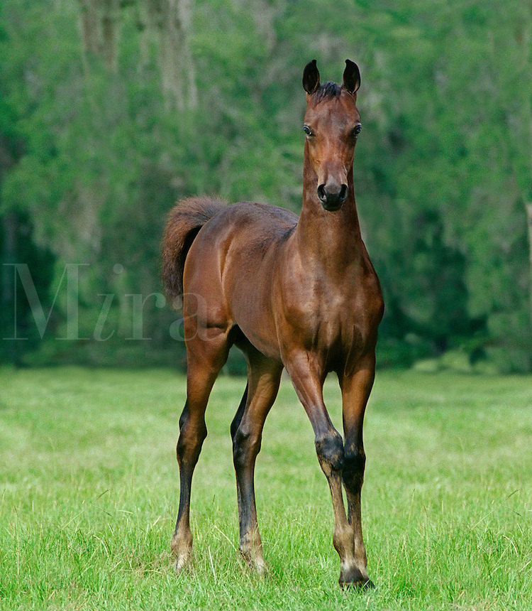 Morgan Horse foal looks at us curiously.