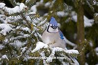 01288-05315 Blue Jay (Cyanocitta cristata) in spruce tree in winter, Marion Co., IL