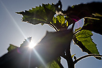 Sunlight shines through the leaves of a sunflower that has yet to bloom at the Social Advocates for Youth Sunflower Community Garden in Santa Rosa, Calif., on May 14, 2013. (Photo by Alvin Jornada)