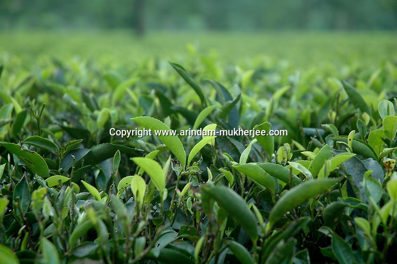 INDIA (West Bengal - Darjeeling) June 2007, Fresh tea leaves in a tea garden of Darjeeling. Darjeeling produces the best quality black tea in the world. Arindam Mukherjee