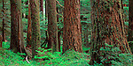 Olympic National Park, WA<br /> Western Hemlocks (Tsuga heterophylla) in an old growth forest in Upper Soleduck Valley