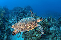 hawksbill sea turtle, Eretmochelys imbricata, critically endangered species, Turneffe Atoll, Belize Barrier Reef, Belize, Caribbean Sea, Atlantic Ocean