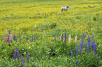 horse in a lupine field, Sugar Hill, New Hampshire