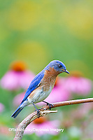 01377-17705 Eastern Bluebird (Sialia sialis) male on perch near flower garden, Marion Co. IL