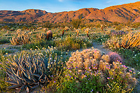 Anza-Borrego Desert State Park, CA: Raking sunrise light on hedgehog cactus (Engelmann's cactus), desert agave (Agave deserti) and brown-eyed primrose (Camissonia claviformis) in Glorieta Canyon