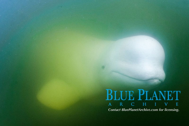 beluga whale, Delphinapterus leucas, hunting in the murky waters of the Churchill River, Manitoba, Canada, Arctic Ocean