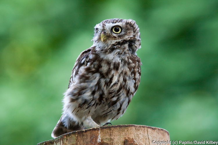 Little Owl, Athene noctua, Single adult perching on post, Wiltshire, England, UK