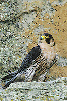 527950006 a captive peregrine falcon falco peregrinus perches on a lichen-covered cliff in central colorado - species is federally endangered in the wild