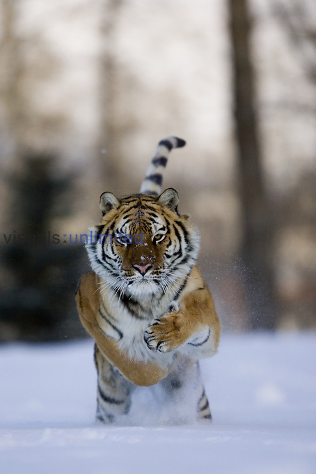 A Siberian Tiger running in the snow ,Panthera tigris altaica,, an endangered species.