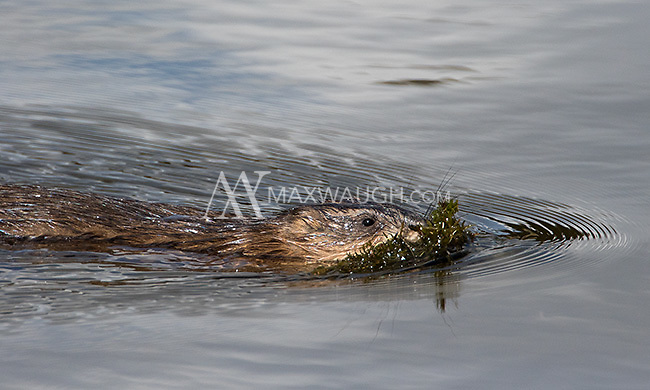 A muskrat swims with some food.