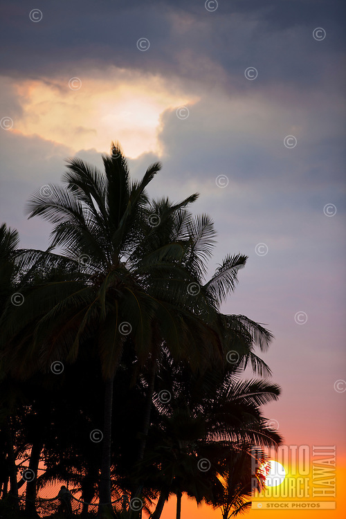 A grove of palm trees at sunset