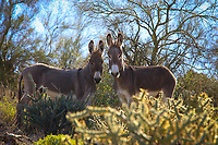 Beautiful Burros - Wild Burros - Arizona