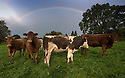 13/10/16 <br /> <br /> As showers sweep the country, a rainbow frames cows over Ireton Wood, near Ashbourne in the Derbyshire Peak District, .<br /> <br /> All Rights Reserved: F Stop Press Ltd. +44(0)1773 550665   www.fstoppress.com