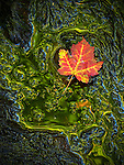A single maple leaf rests in a reflecting pool of water along the Kane Path in Acadia National Park, Maine, USA