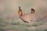 Adult male Lesser Prairie-chicken (Tympanachus pallidicinctus) displaying on a lek. Cimarron National Grassland, Kansas. April.