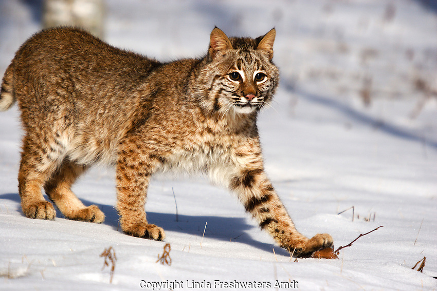 Bobcat (Lynx rufus) standing on a rock in the snow.  Minnesota.