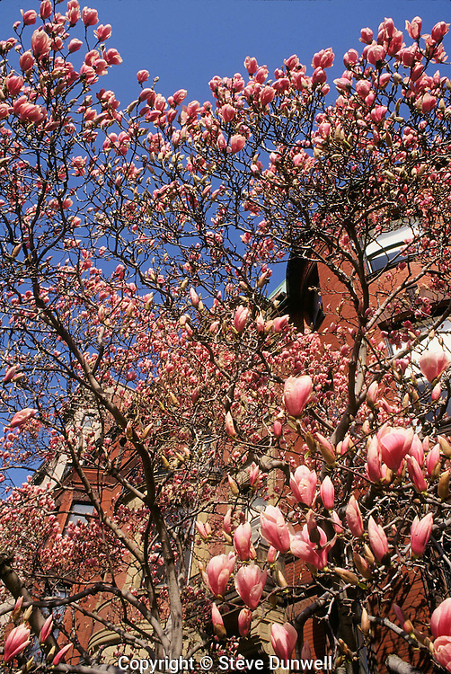 Magnolias, Commonwealth Avenue, Boston