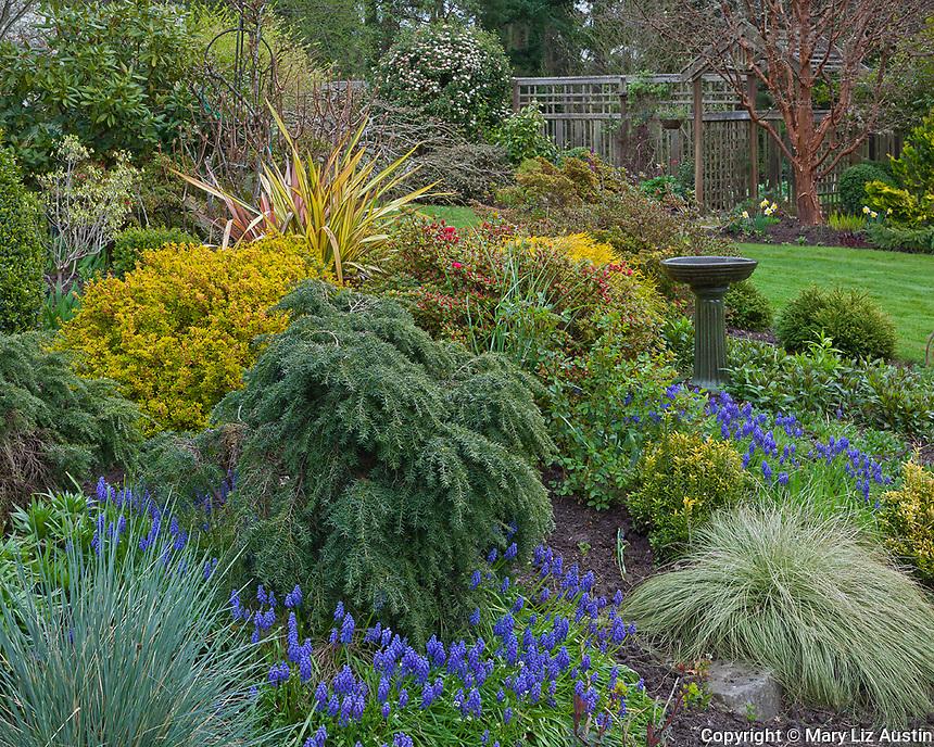 Vashon-Maury Island, WA  <br /> Perennial garden in spring featuring grape hyacinths, false cypress; barberry and yucca