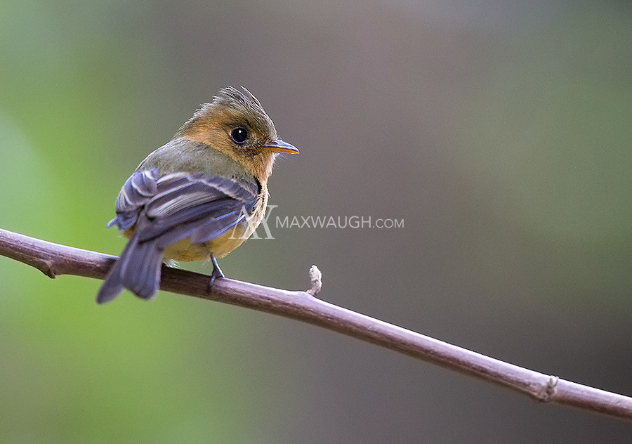 The Northern tufted flycatcher is a tiny bird found in Costa Rica's central highlands.