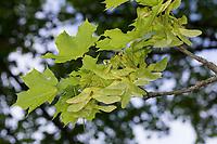 Spitz-Ahorn, Spitzahorn, Spitzblättriger Ahorn, Ahorn, Acer platanoides, Norway Maple, L'Érable plane, Érable de Norvège, Iseron, Plane, Main-découpée, Plaine, Faux Sycomore