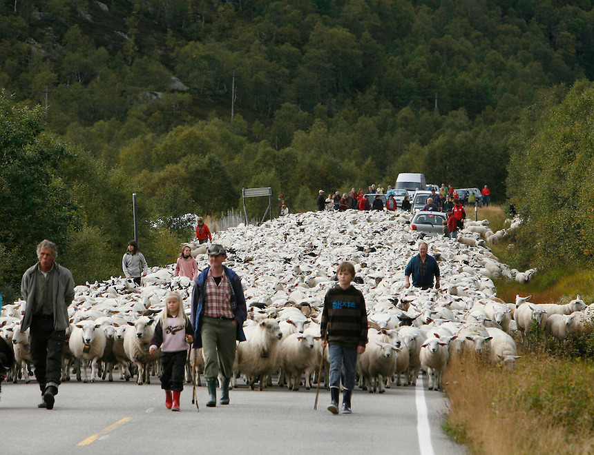 Just outside Kraeven in southwest Norway,  4,500 sheep  are brought to town after a summer in the mountains, Friday, Sept 7, 2007.  Photos by Charles Osgood