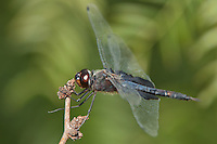 388520004 a wild male black saddlebags dragonfly tramea lacerata perches on a dead stick at estero llano state park in the rio grande valley of south texas united states