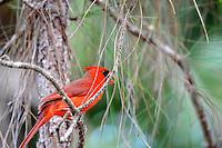 Beautiful Red Cardinal photographed at Okeeheelee Park, West Palm Beach, Florida.