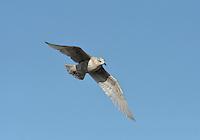 Kumlien's Gull - Larus glaucoides kumlieni - 1st winter