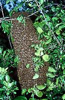 Honigbiene, Schwarm, schärmen, Bienenschwarm, Bienentraube, Honig-Biene, Biene, Bienen, Honigbienen, Apis mellifera, Apis mellifica, honey bee, hive bee, bees