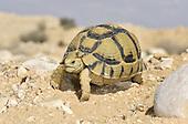 Negev Tortoise - Testudo werneri