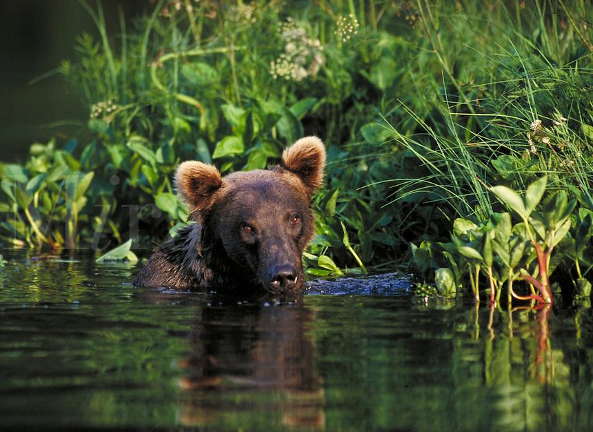 Brown bear in water, Wolverine Creek, Alaska. Alaska United States Wolverine Creek.