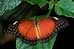 Cethosia biblis Butterfly, wings open, Borneo, red and black colour, South Asia.Borneo....